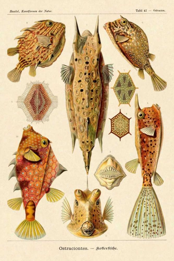 konfigurieren des Kunstdrucks in Wunschgröße Haeckel Nature Illustrations: Boxfish von Haeckel, Ernst