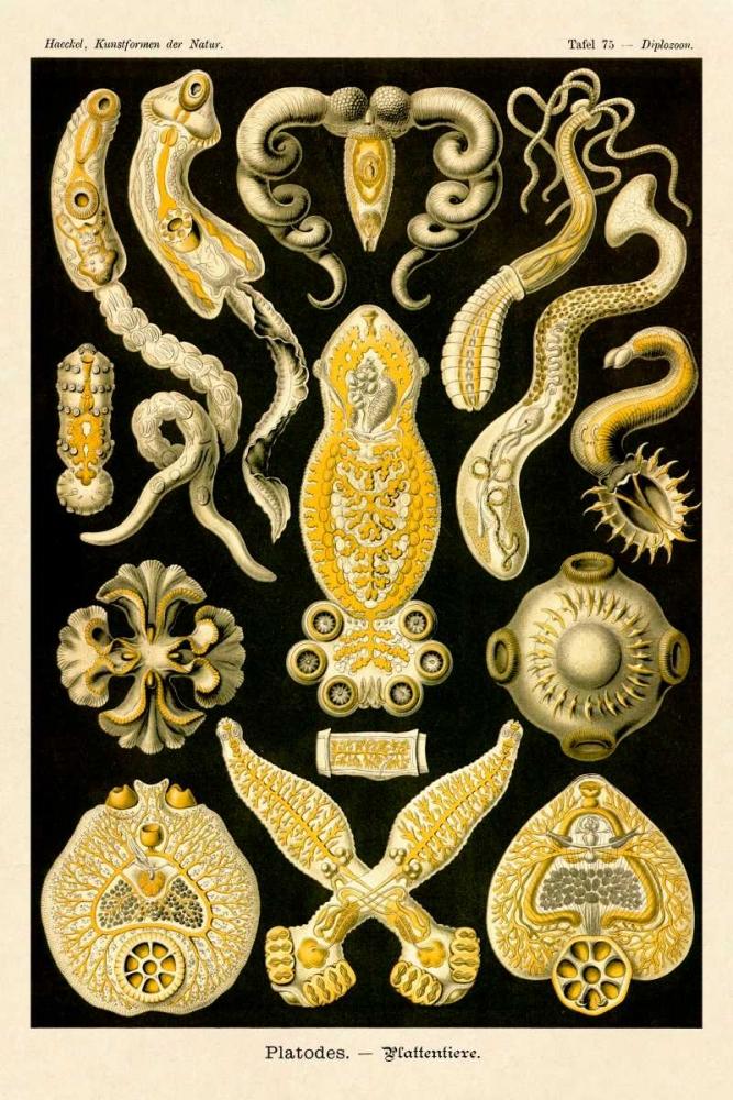 konfigurieren des Kunstdrucks in Wunschgröße Haeckel Nature Illustrations: Flatworms von Haeckel, Ernst