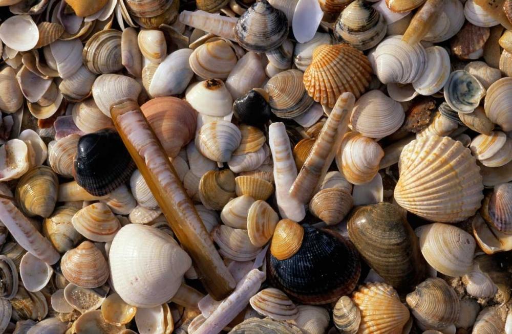 konfigurieren des Kunstdrucks in Wunschgröße Selection of bivalve shells von Vermeer, Jan