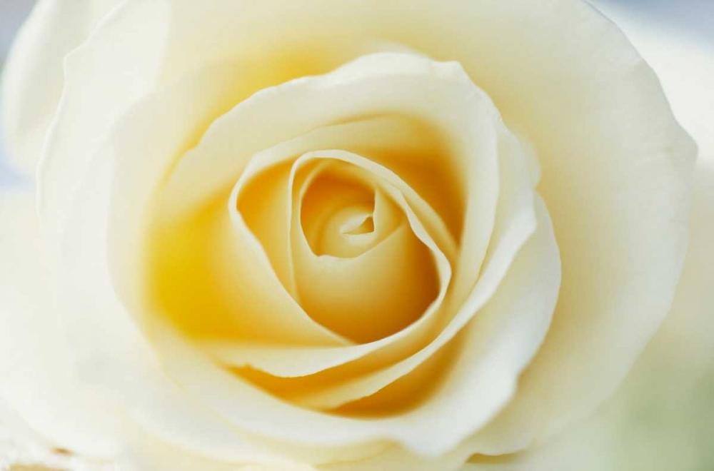 konfigurieren des Kunstdrucks in Wunschgröße Rose close up of white Rose in bloom von Vermeer, Jan