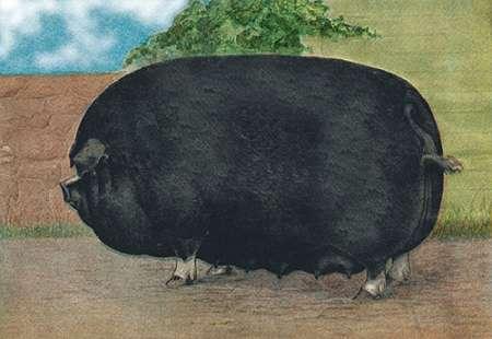 konfigurieren des Kunstdrucks in Wunschgröße Pigs and Pork: Champion Sow von Advertisement