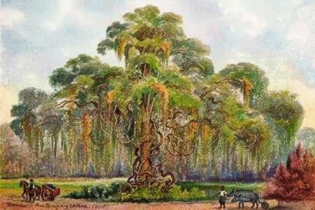konfigurieren des Kunstdrucks in Wunschgröße Terminalia auf Java Riesenbaum mit Lianen von Haeckel, Ernst