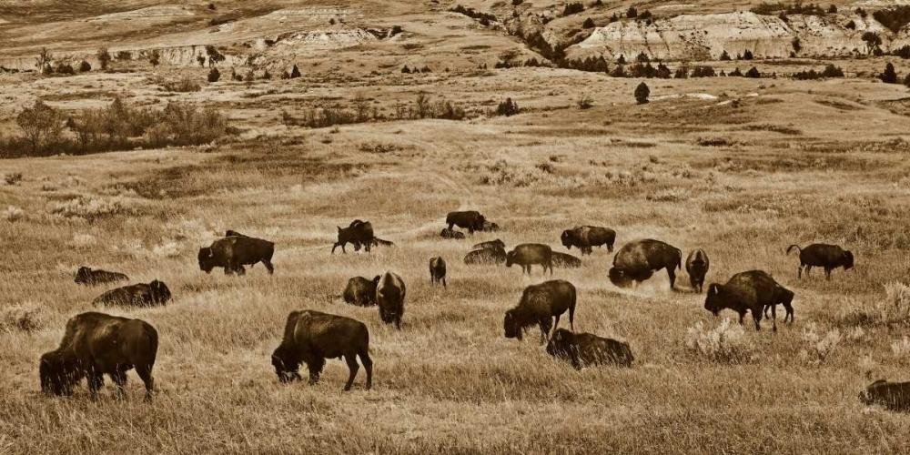 konfigurieren des Kunstdrucks in Wunschgröße American Bison herd grazing on shortgrass prairie, Theodore Roosevelt National Park, North Dakota - von Fitzharris, Tim