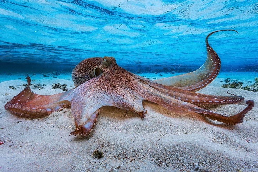 konfigurieren des Kunstdrucks in Wunschgröße Octopus von Gabriel, Barathieu