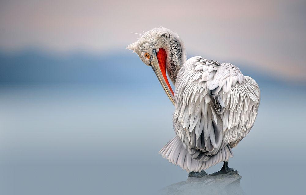 konfigurieren des Kunstdrucks in Wunschgröße Dalmatian pelican at dawn von Ortega, Xavier