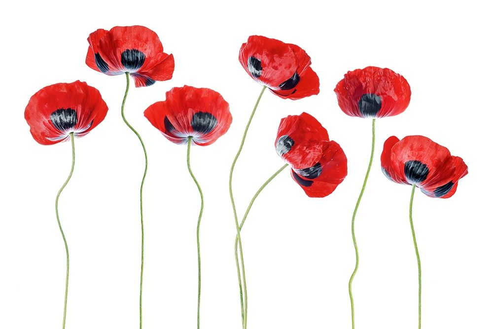 konfigurieren des Kunstdrucks in Wunschgröße Ladybird Poppies von Disher, Mandy