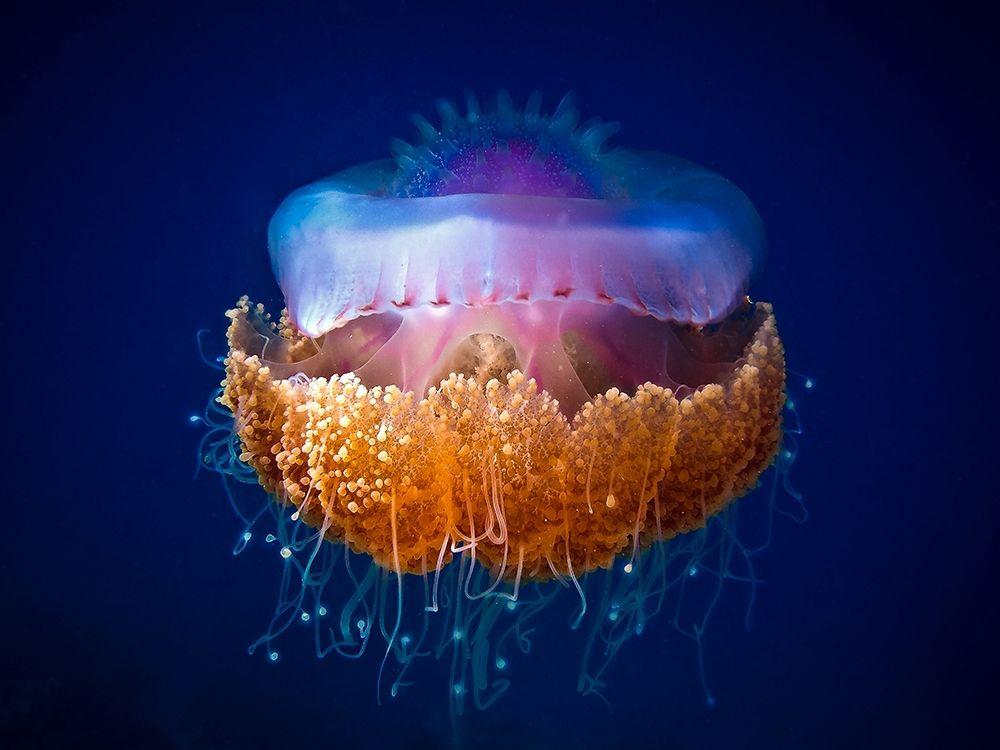 konfigurieren des Kunstdrucks in Wunschgröße Fried Egg Jellyfish von LuckyGuy