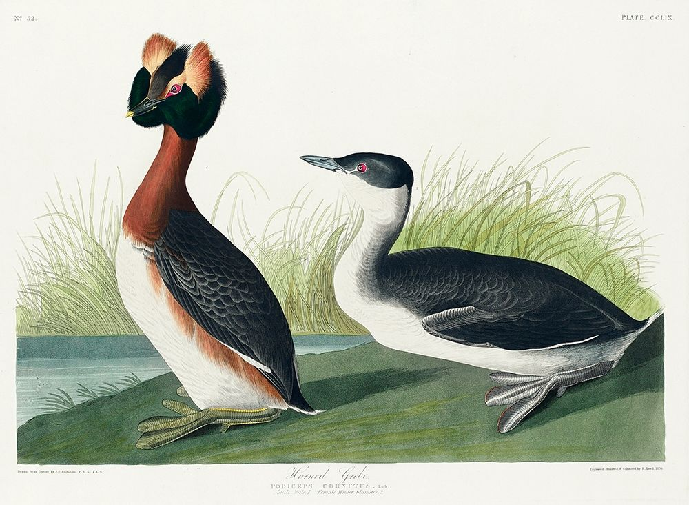 konfigurieren des Kunstdrucks in Wunschgröße Horned Grebe von Audubon, John James