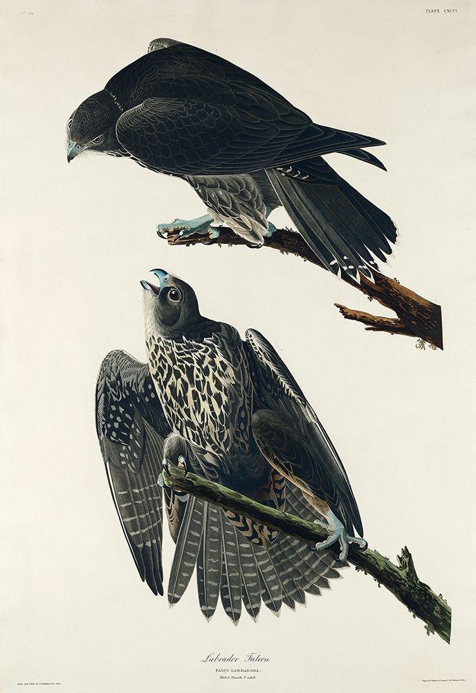 konfigurieren des Kunstdrucks in Wunschgröße Labrador Falcon von Audubon, John James