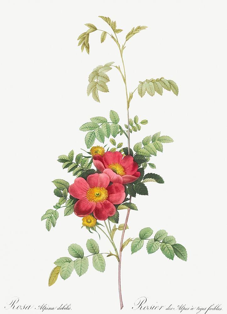 konfigurieren des Kunstdrucks in Wunschgröße Alpine Rose, Rosebush of Alpes with Weak Stems, Rosa alpina debilis von Redoute, Pierre Joseph
