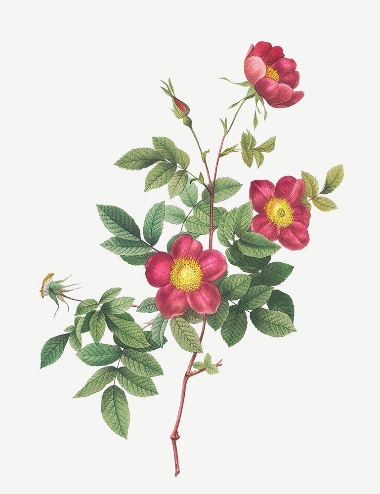 konfigurieren des Kunstdrucks in Wunschgröße Alpine Rose, Common Alpine Rose Garden, Rosa Alpina vulgaris von Redoute, Pierre Joseph
