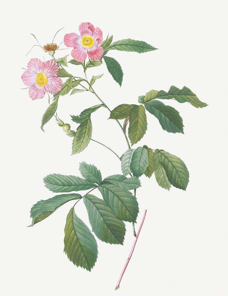 konfigurieren des Kunstdrucks in Wunschgröße Variegated Alpine Rose, Rosa alpina flore variegato von Redoute, Pierre Joseph