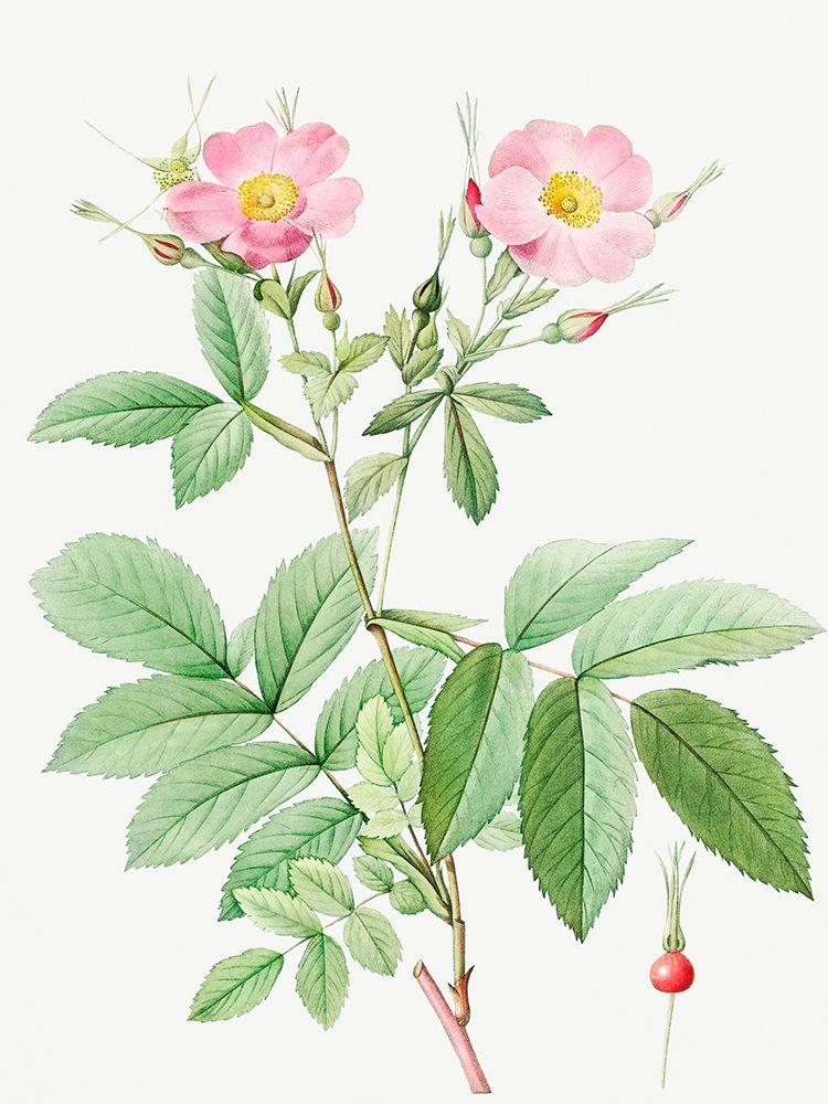 konfigurieren des Kunstdrucks in Wunschgröße Alpine Rose, Alpine Rose with Penduncle and Glaborous Calyx von Redoute, Pierre Joseph