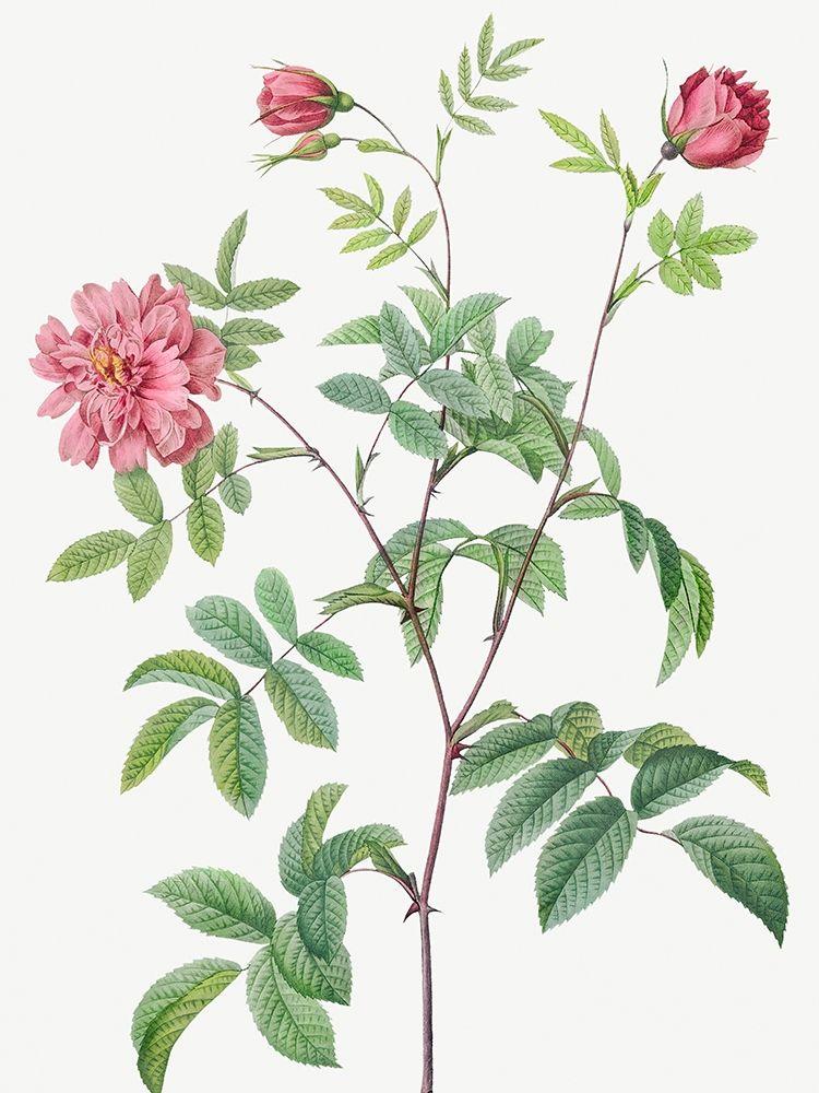 konfigurieren des Kunstdrucks in Wunschgröße Cinnamon Rose, Rose of May, Rosa cinnamomea maialis von Redoute, Pierre Joseph