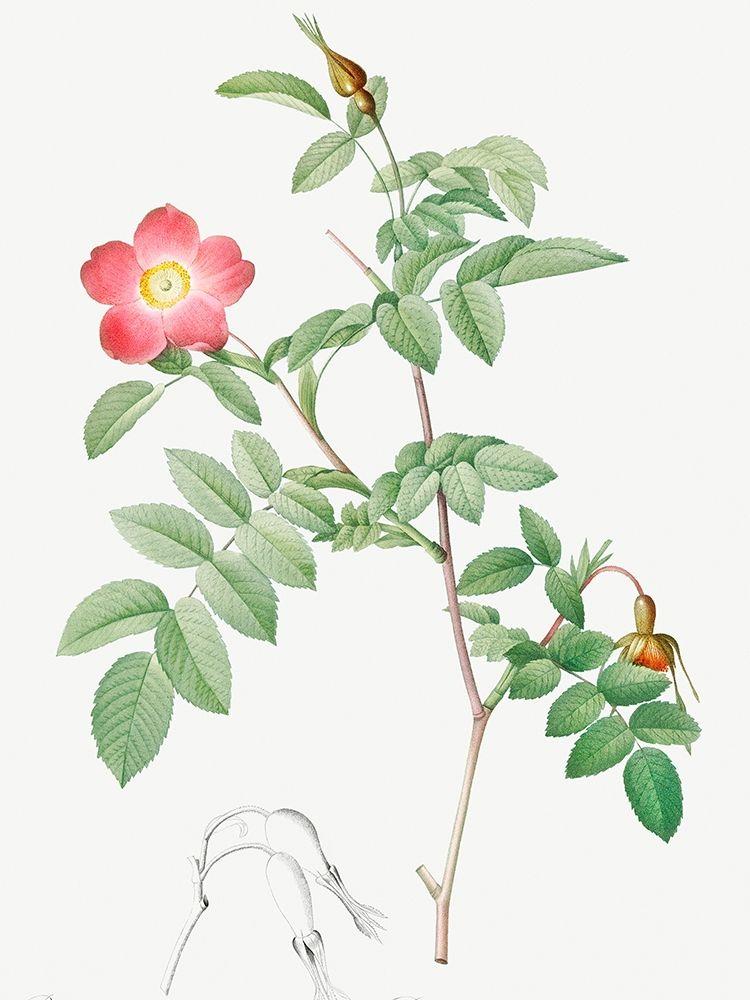 konfigurieren des Kunstdrucks in Wunschgröße Alpine Rose, Rose of the Alps with Hanging Fruits, Rosa pendulina von Redoute, Pierre Joseph