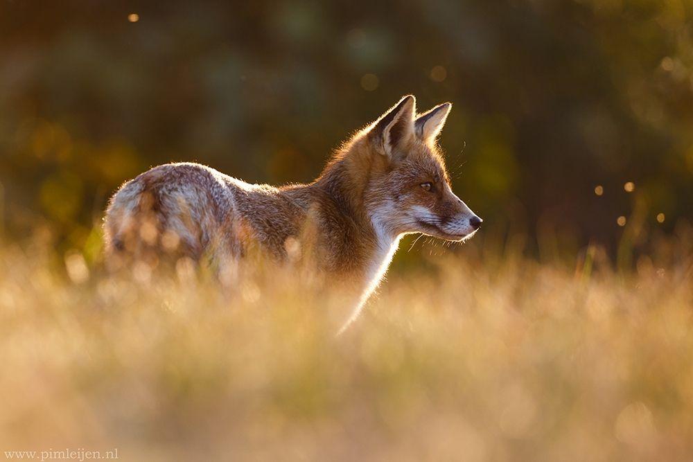 konfigurieren des Kunstdrucks in Wunschgröße Last Light Fox von Leijen, Pim