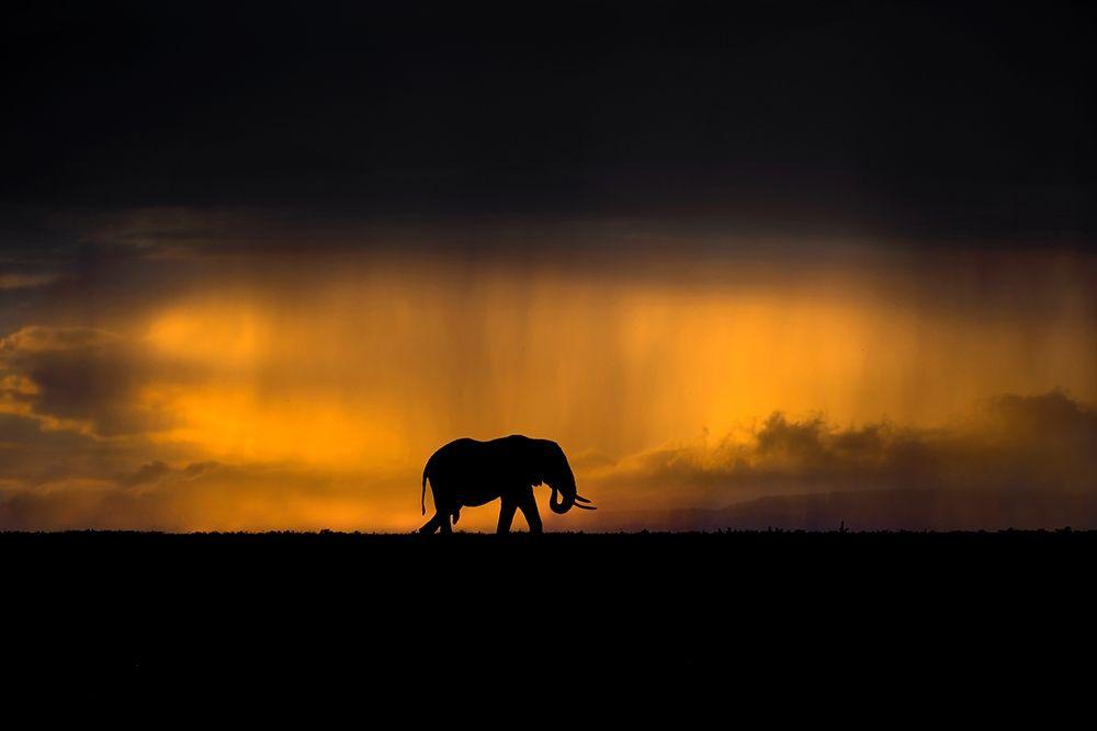 konfigurieren des Kunstdrucks in Wunschgröße Elephant in a rain storm at sunset von Ortega, Xavier